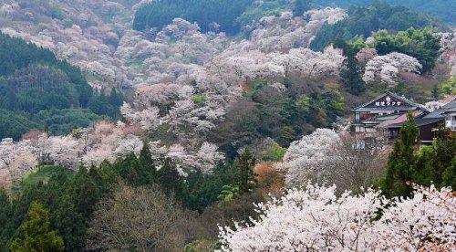 Cherryblossom_Japan.pg